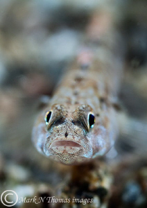 Goby.